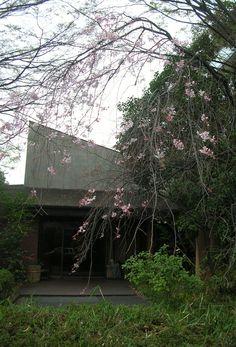 志楽の湯の隣にあります「川崎生涯研修センター」でも春を感じられました。 枝垂桜が綺麗です♪  cherry blossoms