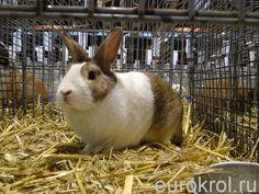 Кролик породы Голландский