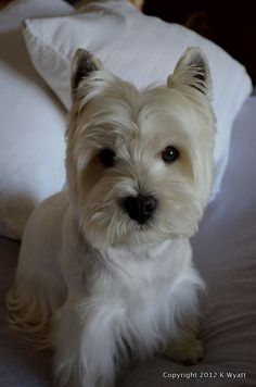 Pin By Dog Life On Westie Westie Dogs Westies Westie Puppies