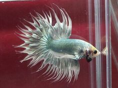 808 Green white crowntail male