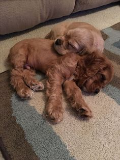 >>>Cheap Sale OFF! >>>Visit>> 10 week old Cocker Spaniels Perro Cocker Spaniel, American Cocker Spaniel, Clumber Spaniel, Cute Baby Animals, Animals And Pets, Funny Animals, Cute Dogs And Puppies, I Love Dogs, Doggies
