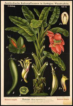 Zippel and Bollmann, Educational botanical wall charts, 1876-1899. Musa sapientum, Ausländische Kulturpflanzen in farbigen Wandtafeln II.