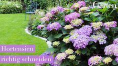 Hortensien richtig schneiden