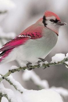Pink Tinged Birdie Amazing World
