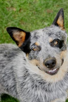 Baby Elephant Australian Blue Heeler Cattle Dog Love it when dogs do this. Baby Dogs, Dogs And Puppies, I Love Dogs, Cute Dogs, Austrailian Cattle Dog, Crazy Dog Lady, Herding Dogs, Smiling Dogs, Fauna