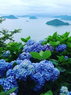 Mt. Shiude, Mitoyo, Kagawa, Japan, hydrangea #Japan #travel #guide #japantravel #TheRealJapan #Japanese #howtotravel  #vacation #trip #explore #adventure #traveltips www.therealjapan.com Beautiful World, Beautiful Gardens, Beautiful Places, Beautiful Pictures, Hortensia Hydrangea, Hydrangea Garden, Hydrangeas, Blue Hydrangea, Blossom Garden