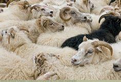 Schafherde bei Höfn, Island, Skandinavien