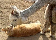 alpaca kitty love!