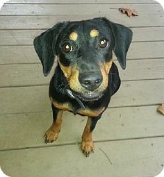 Rescue puppy Helena, AL - Dachshund Mix. Meet Thelma a Puppy for Adoption.