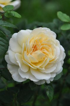 English rose 'Crocus Rose'