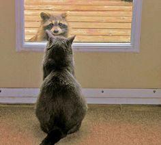 00-raccooon-and-cat-29-04-15.jpg (1600×1440)