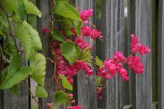 pus Nomes Populares:Amor-agarradinho, cipó coral, cipó-de-mel, amor-entrelaçado, entre outros Família:Angiospermae – Família Polygonaceae Origem:Originária do México