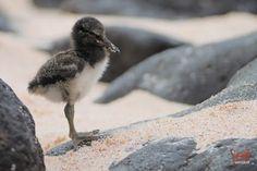 Baby Oystercatcher by Jeff Wendorff - Google+