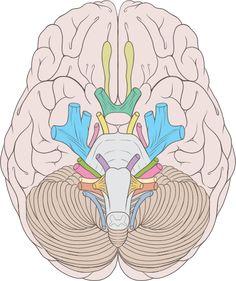 Brain human normal inferior view.svg