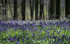 The bluebells are in bloom!