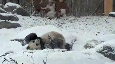 Pandy jak dzieci. Uwielbiają śnieg. http://tvnmeteo.tvn24.pl/informacje-pogoda/swiat,27/pandy-jak-dzieci-uwielbiaja-snieg,149972,1,0.html