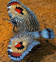Pato mariposa( Eurypyga helia )
