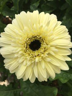 Black Ice (Schreurs) Daisy Art, Decoupage Printables, Sunflower Art, Gerber Daisies, Dahlia, Flower Power, Beautiful Flowers, Seeds, Bouquet
