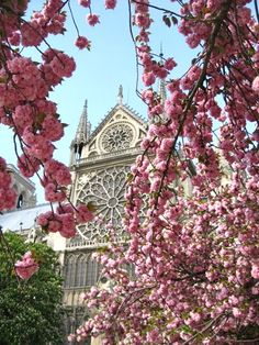 Cherry blossoms over Notre Dame Catherine