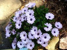 summertime sweet lavender