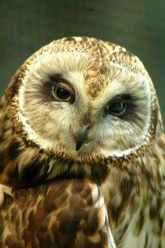 Beautiful short eared owl