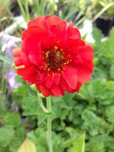 GEUM red Border Plants, Soil Ph, Clay Soil, Summer Garden, Cut Flowers, Flower Making, Bloom, Red
