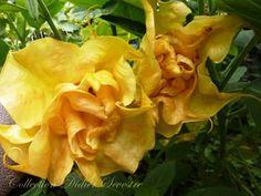 Fleur de sommeville