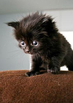 Ooooooh...tiny little cutiepie; black kitten <3<3<3