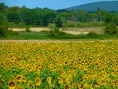 Sunflowers of Provence via @shutrssunflowrs