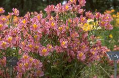 Find help & information on Alstroemeria Princess Juliana = 'Staterpa' (Princess Series) Peruvian lily [Princess Juliana] from the RHS Flowers Name List, Flower Names, Rhs Hampton Court, Peruvian Lilies, Plant Health, Container Plants, Book Gifts, Perennial, Dahlia