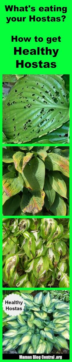The Best homemade solution for Hostas Care that will stop bugs and slugs from eating your hostas. I need to remember this. I'm sure I will plant some at the new house. I love pretty hostas. Hosta Plants, Shade Plants, Houseplants, Green Plants, Garden Pests, Garden Tools, Garden Ideas, Plant Pests, Potager Garden