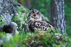 Mikä on Suomen kansalliskoira? Owl Art, Bird Houses, Art Pictures, Eagles, Finland, Besties, Emo, Natural Beauty, Scenery