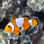 Snowflake Ocellaris Clownfish, Captive-Bred