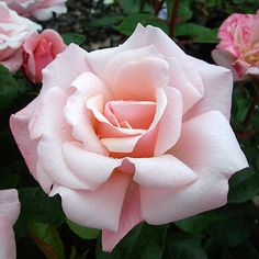 Garden Plant Gift Gift Rose Valentine Heart