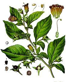Atropa belladonna - Belladonna or deadly Nightshade. Illustration from Kohler's Medicinal Plants 1887. It has a long history of use as a medicine, cosmetic, and poison. Before the Middle Ages, it was used as an anesthetic for surgery; the ancient Romans used it as a poison (the wife of Emperor Augustus and the wife of Claudius both were rumored to have used it for murder); and, predating this, it was used to make poison-tipped arrows. The genus name Atropa comes...
