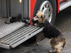 The dog that saved her puppies from a burning house in Chile, so beautiful, makes me tear up every time. :)