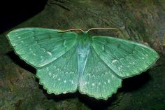Large Emerald  The biggest and most handsome of the UK's green moths, whose smaller members include the spiny bollworm, a very rare immigrant recorded at Buckingham Palace in 1964, after a state visit from Tanzania