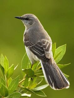 Mockingbird ~ Texas State Bird. That still doesn't explain the level of Texas jackassery in its politicians.