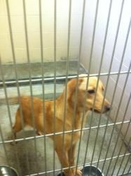 No longer available. Ash is an adoptable Labrador Retriever Dog in Pikeville, KY. Ash was brought into the shelter because his owner could no longer care for him.