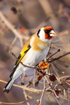 magicalnaturetour:    Goldfinch by hobbit-zlat