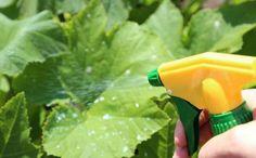 Ezt tedd, ha el szeretnéd kerülni az uborka leveleinek sárgulását! Salvia, Lettuce, Celery, Cucumber, Herbs, Stuffed Peppers, Vegetables, Flowers, Gardening