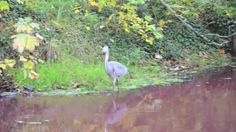 Waters Turning Red in Nootdorp - Blue Heron - The Netherlands (video) End Of The Age, Blue Heron, Before Us, Natural Disasters, Pay Attention, Word Of God, Rivers, Turning