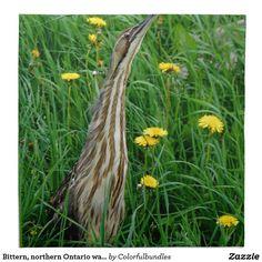 Bittern, northern Ontario water bird