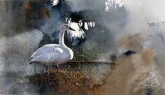 """Trumpeter Swan"" - Watercolor, Morten E. Solberg Sr."