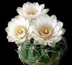 Apakah Anda mengklasifikasikan kaktus sebagai tanaman berduri yang hanya bisa tumbuh di padang pasir? Jika iya, maka selama ini Anda telah kehilangan kesempatan untuk menghias rumah Anda dengan berbagai macam tanaman hias kaktus. Nyatanya, kaktus dapat dibudidayakan di rumah karena tampilannya yang unik dan bunganya yang cantik. Bahkan ada banyak jenis kaktus yang dapat dijadikan …