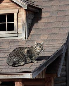 Cat on a warm asphalt roof.   #smallacrefarm #farmlifebestlife #fortcollins #colorado #farmcat #rodentcontrol #milkqualitychecker #catsofinstagram #nopaparazzi