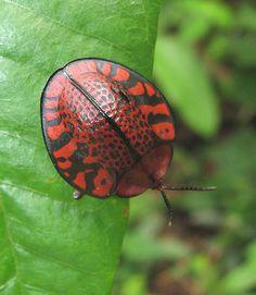 schildhaantje boven/tortoise beetle