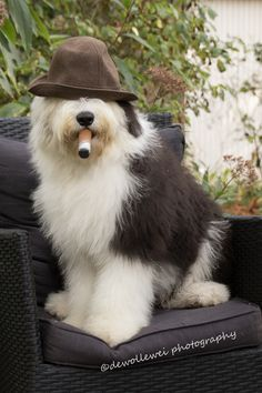 have a cigar... - old English sheepdog Amy