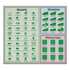 葉の形態の形のVenationの差益の図表 ポスター
