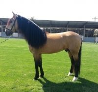 Pretty buckskin lusitano stallion on Epona Exchange! See more of his photos!